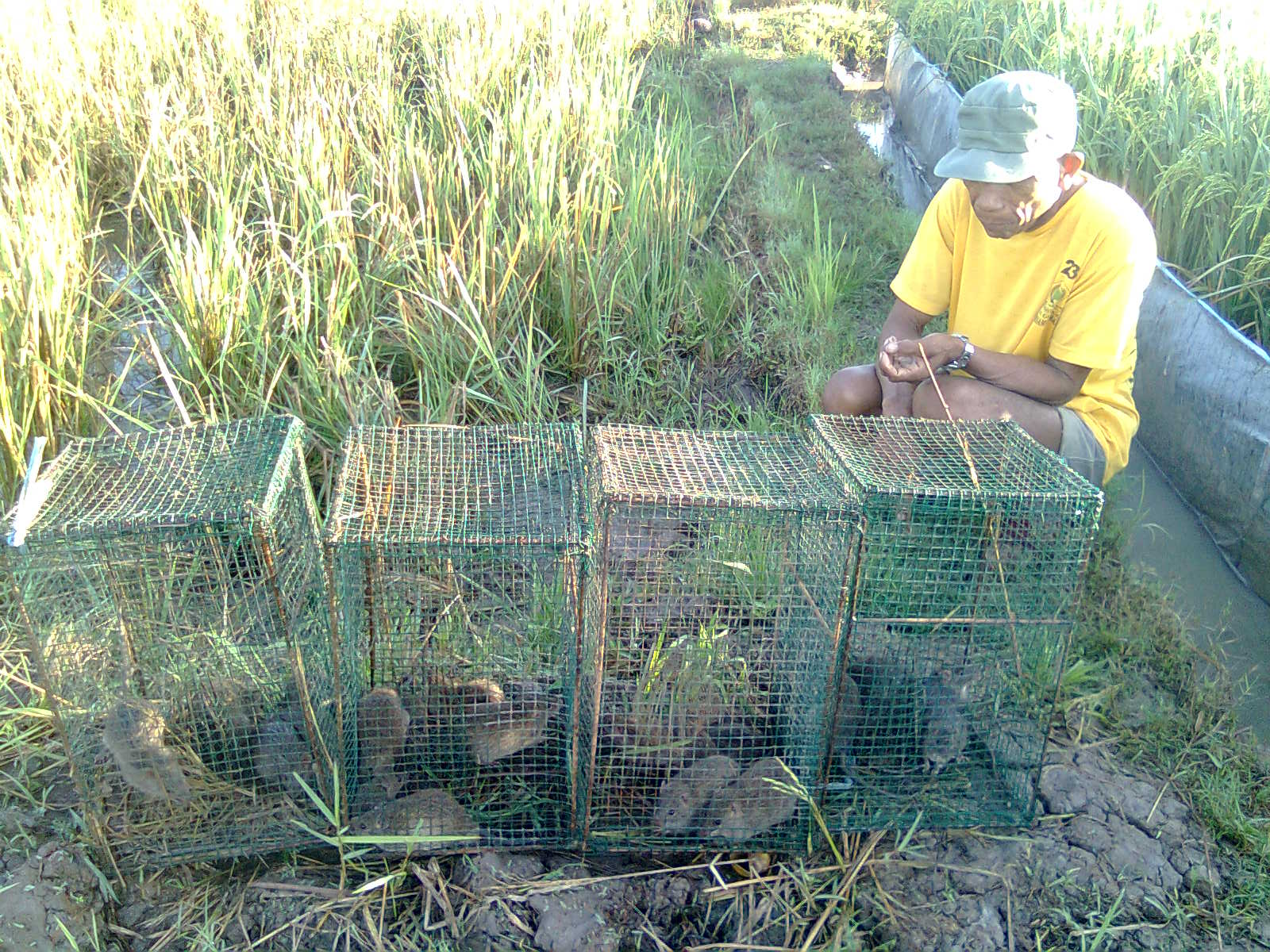 Pengendalian Hama Tikus Distan
